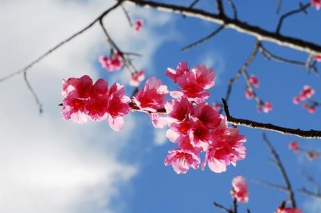お庭にある桜の木は1月下旬から2月上旬まで美しい花を咲かせます
