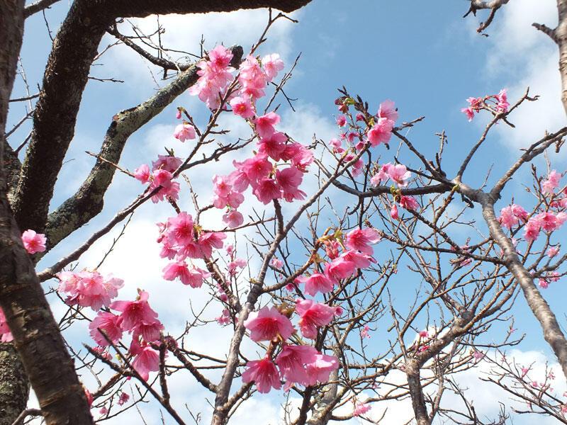 42回もとぶ八重岳桜まつり